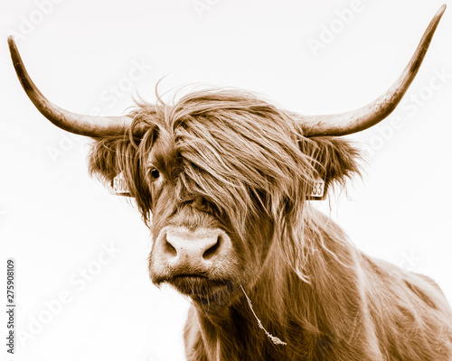 Tuinposter Koe portrait of a highland cow
