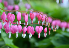 Pacific Bleeding Heart Flowers