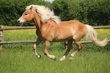 beautiful haflinger horse is running on the paddock