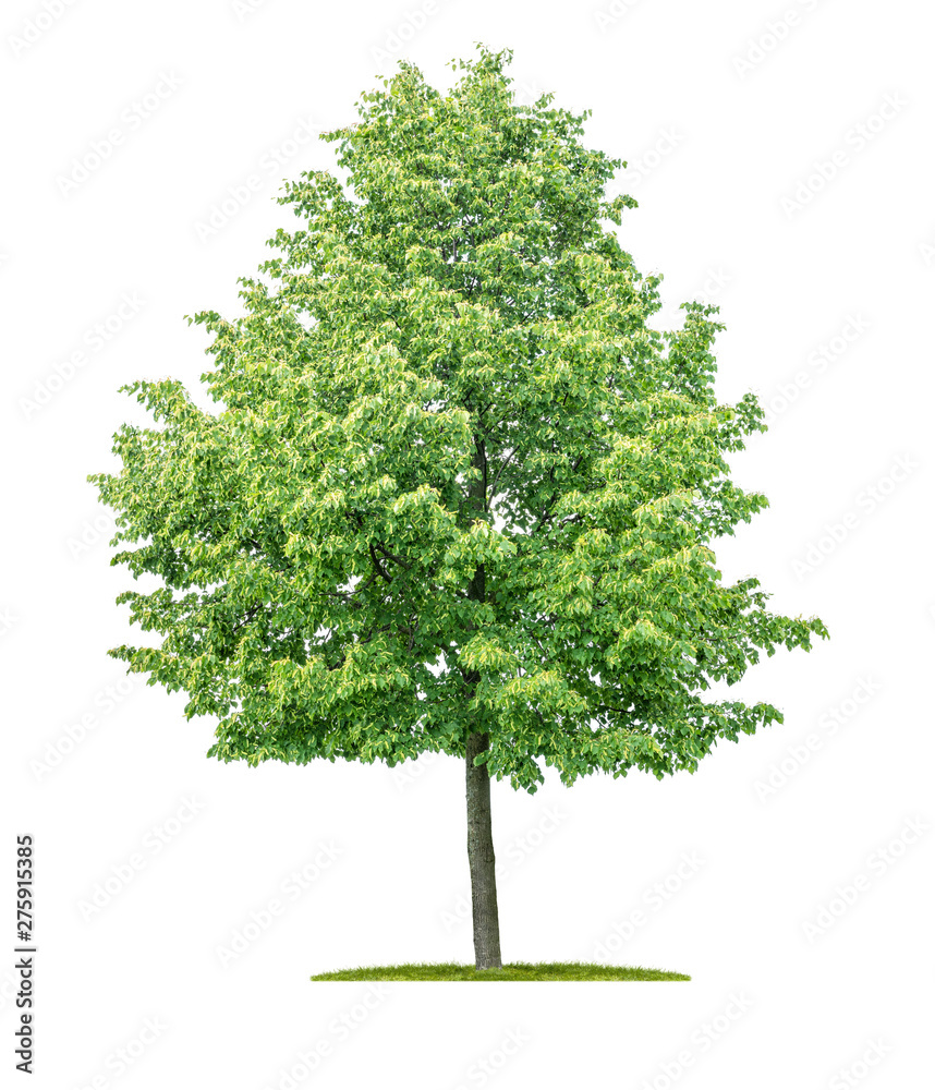 Fototapety, obrazy: Isolated  tree on a white background - Tilia cordata - Small-leaved linden