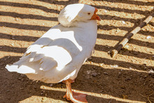 Calm Chinese Pure White Goose ...