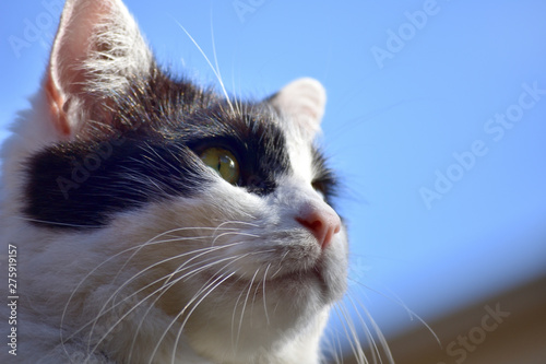 Fotografering close up black and white cat