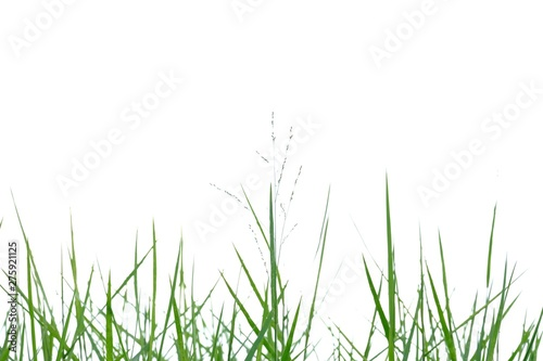 Photo sur Toile Herbe Wild grass leaves on white isolated background for green foliage backdrop