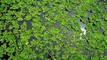 Water Lettuce Floating On Surface, Aquatic Plant