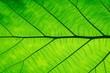 Macro shot. Green Leaf texture background