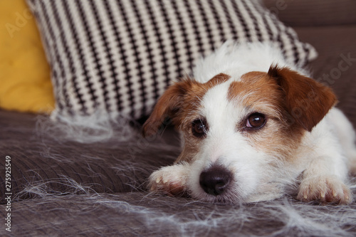 Carta da parati  FURRY JACK RUSSELL DOG, SHEDDING HAIR DURING MOLT SEASON RELAXING ON SOFA FURNITURE