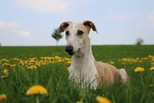 Beautiful Galgo Is Lying In A Field Of Dandelions In The Park