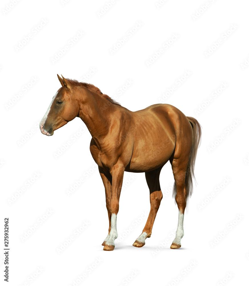Fototapety, obrazy: Chestnut horse isolated