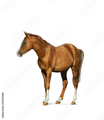 Poster Ouest sauvage Chestnut horse isolated