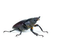 Female Stag Beetle, Lucanus Ce...