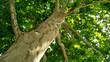 Leinwanddruck Bild - Sycamore tree. Platanus orientalis. Spotted plane tree trunk under sunlight_9