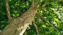 Sycamore Tree. Platanus Orient...