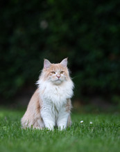 Beige White Maine Coon Cat Sitting On Grass In The Garden Observing The Area