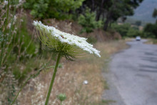 Close-up Of The Daucus Carota Plant. Blurred Background. Road Crossing Blurred Background.