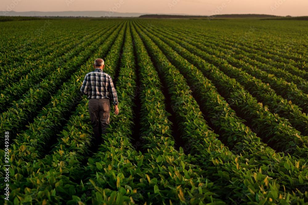 Fototapeta Rear view of senior farmer standing in soybean field examining crop at sunset.