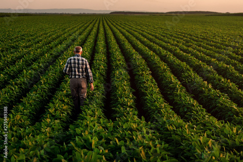 Fotografía Rear view of senior farmer standing in soybean field examining crop at sunset,