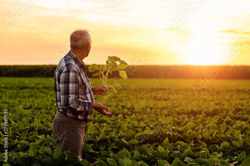 Fototapeta Senior farmer standing in soybean field examining crop at sunset. obraz