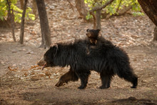 Very Rare And Shy Sloth Bear W...