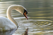 Closeup View Of The Beautiful White Swan Reflecting Head On The Lake.