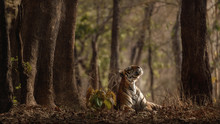 Amazing Tiger In The Nature Ha...