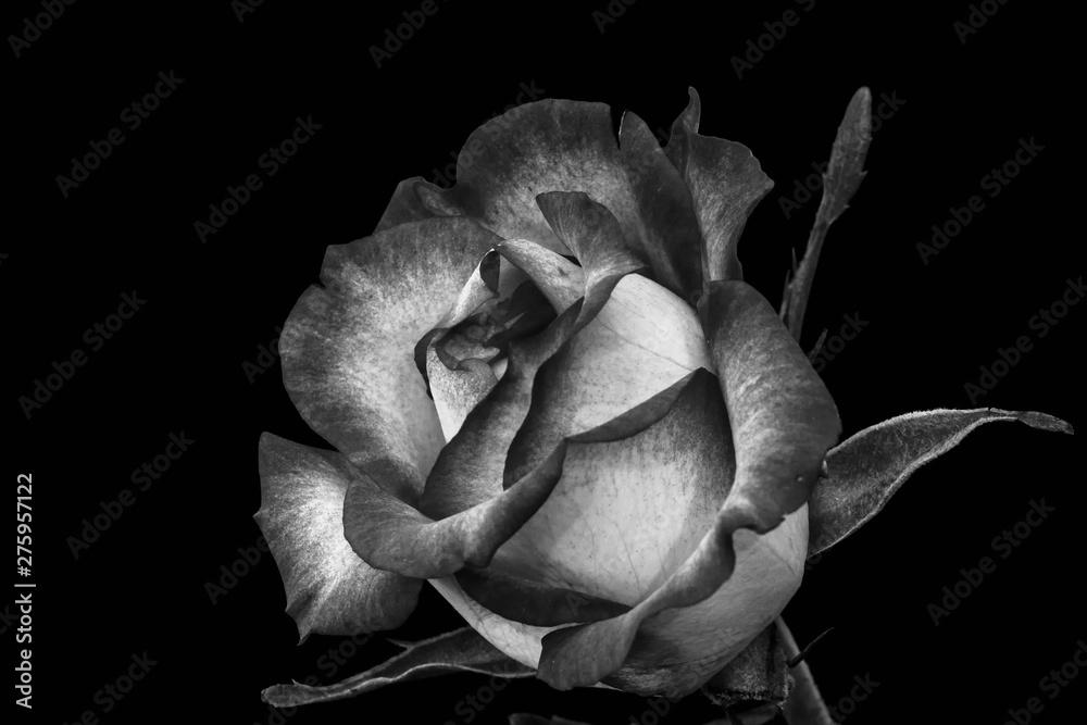 isolated monochrome rose blossom macro, black background,fine art still life,detailed texture