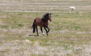 Magnificent Wild Horse Stallion