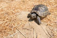 Steppe Mediterranean Turtle On Dry Grass