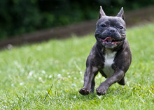 French Bulldog In Blue Color Running Over A Green Meadow