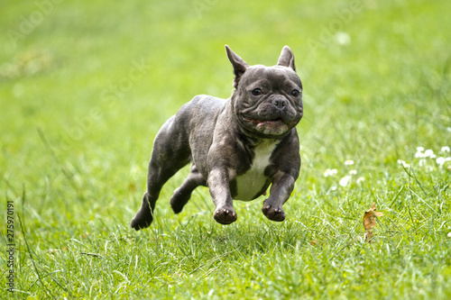 Keuken foto achterwand Franse bulldog French bulldog in blue color with a stick in his mouth running over a green meadow