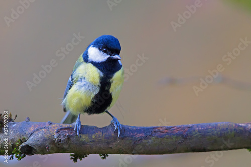 Recess Fitting Bird Great tit (Parus major) in the nature reserve Moenchbruch near Frankfurt, Germany.