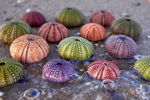 Collection Of Colorful Sea Urc...