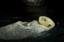 Wild Sea Otter Swiming In The Ocean