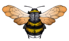 Honey Bee Tattoo. Dotwork Tatt...