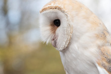 Lateral Portrait Of A Barn Owl...