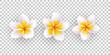 Vector illustration of plumeria flowers.