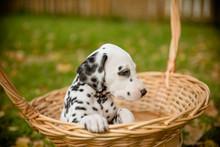 Adorable Dalmatian Dog Outdoor...