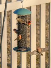 House Finches Eat Sunflower Seed From A Feeder