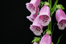 Red Digitalis Purpurea/foxglove Flower On Black Background