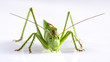 Big green grasshopper on white background close up