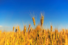 Rural Landscape With A Field Of Golden Wheat Ears Against A Blue Clear Sky Matured On A Warm Summer Day