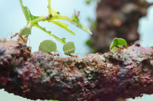 Leafcutter Ants Carrying Leaves On A Branch