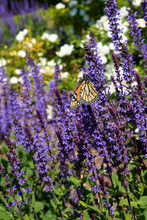 Monarch Butterfly On Purple Sp...