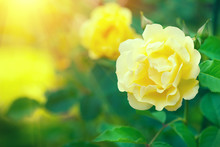 Roses. Beautiful Yellow Climbi...