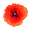 Fresh red poppy flower isolated on white, top view