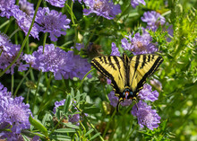 Butterfly, Western Tiger Swallowtail (Papilio Rutulus), On Purple Pincushion Flowers (Scabiosa)