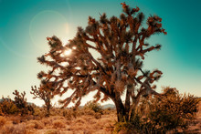 Joshua Tree Cactus In Coachell...