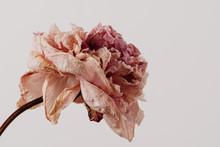 Beautiful Wilted Pink Peony On White Background. Studio Shot