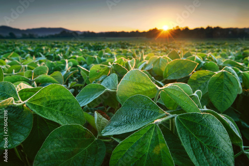 Fototapeta Soy field in early morning. Soy agriculture obraz