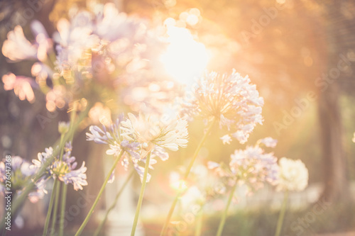 Fototapety, obrazy: Agapanthus Flowers in a Field with the Sunshine