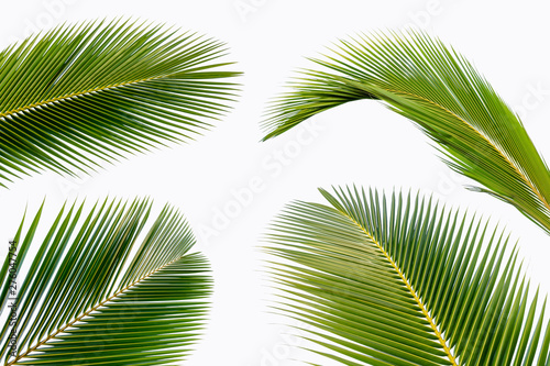 Canvas Prints Palm tree coconut leaf isolated on white background